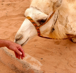 Petting baby camels in Wadi Rum (Video)