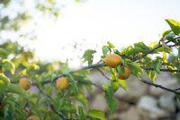 a lemon tree photo taken on a Palestine and Jordan tour